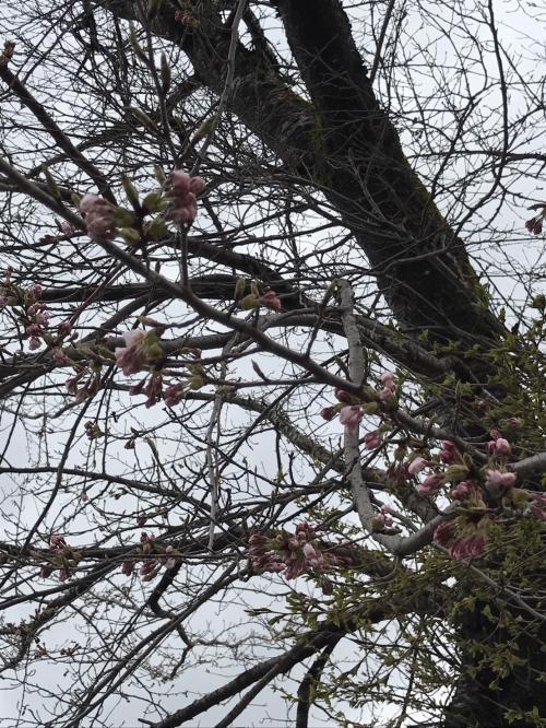 4月27日1桜