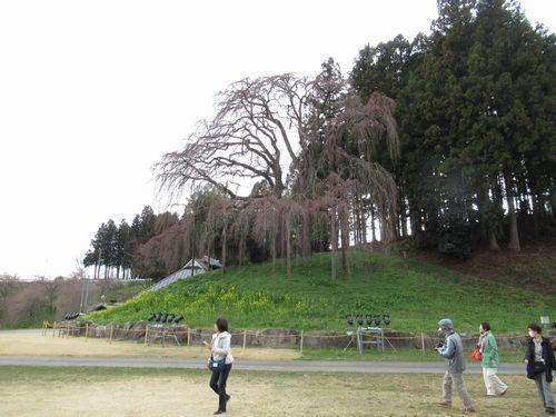 会津の桜2