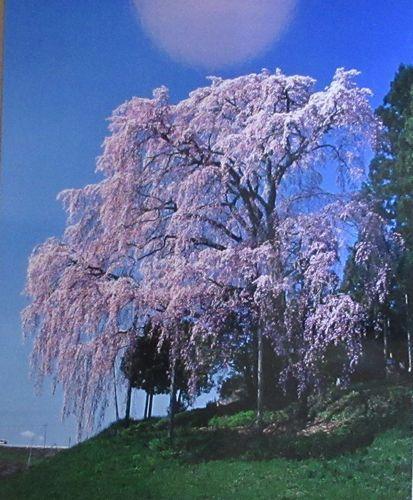 会津の桜3