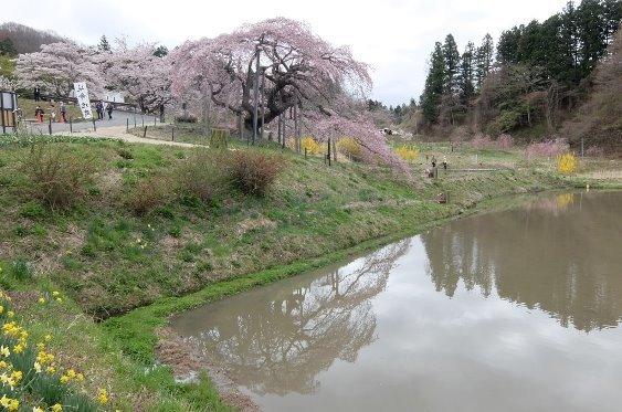 少しだけ池に映る桜