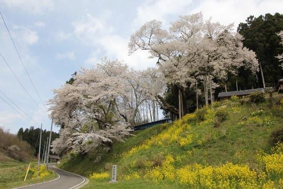 東和祭田の桜