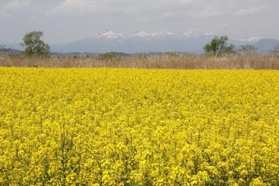 菜の花畑と蔵王連峰
