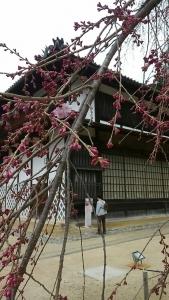 昨日の舞台桜の様子