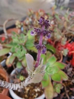 ■プレクトランサス・サルコステムモイデス(Plectranthus sp. Kenya)花芽♪2017.02.24