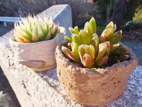 ハオルチアの陶器鉢植え♪左:青雲の舞、右:みどり亀♪2017.03.07