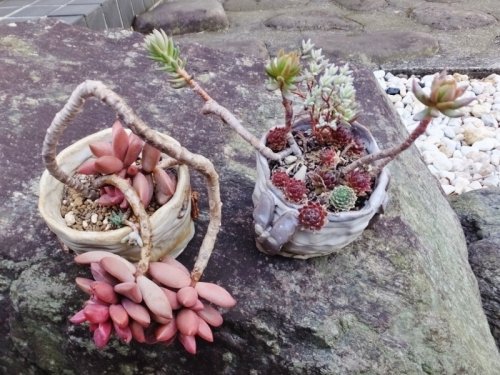 多肉植物~古びた寄せ植え♪作成日2015.02.21~2年経過~2017.03.14