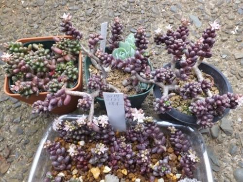セダム・玉蓮~紫色にまだ紅葉しながら白い花が咲いています♪2017.04.22