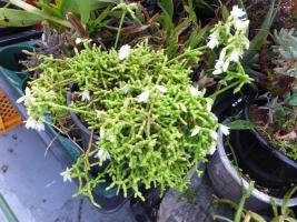 リプサリス・青柳(Rhipsalis cereuscula)開花中♪2017.05.06