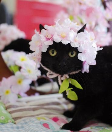 クー桜満開sdsd