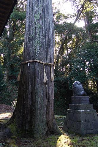 170222手力雄神社のスギ④