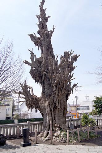 170329前橋八幡宮イチョウ③