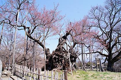 170404山高神代桜③