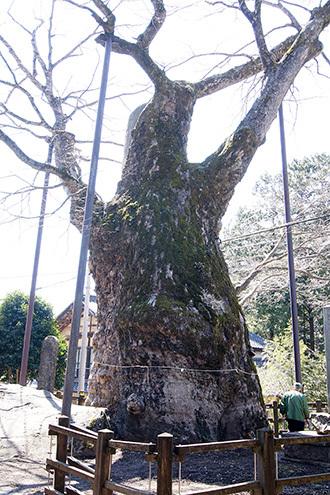 170404根古屋神社の欅⑥