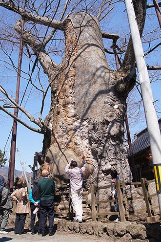 170404根古屋神社の欅⑧