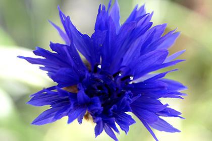 170419植物⑥ チャイブ