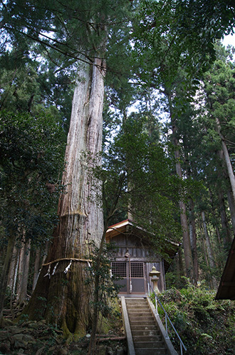 170419五柱神社大杉①