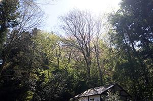 170419広徳寺のカヤ⑦