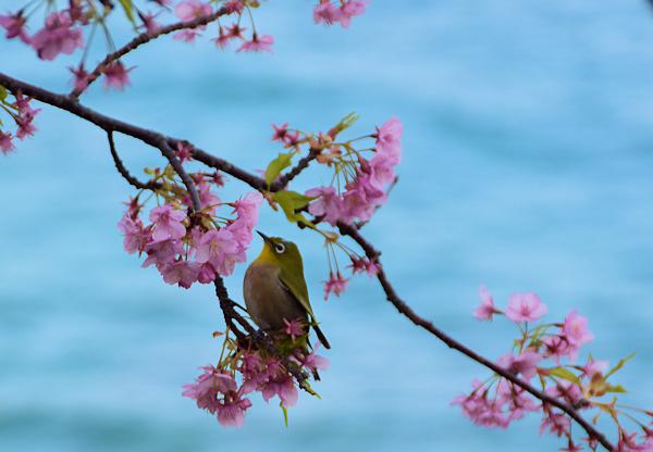 海と桜とメジロ