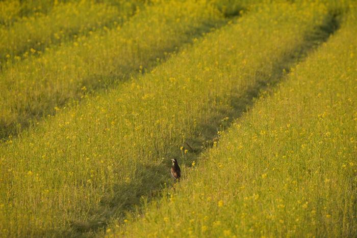 鳥in菜の花畑