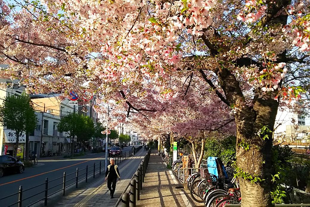 近所の葉桜
