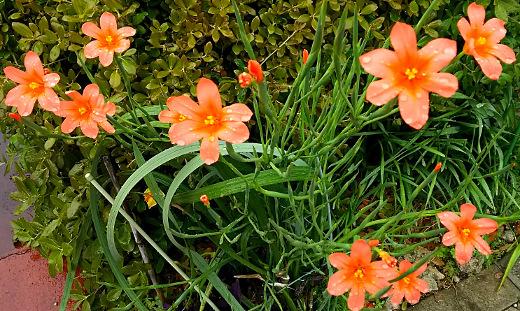 サーモンピンクの花