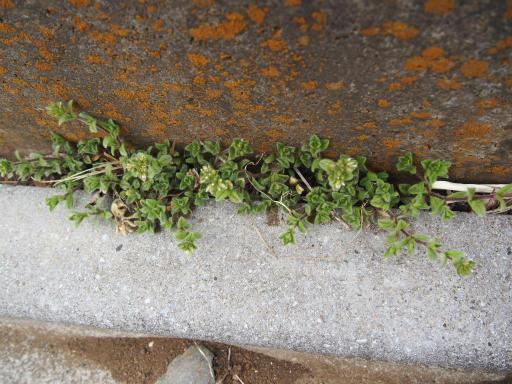 20170218・三寒四温散歩植物04・オランダミミナグサ