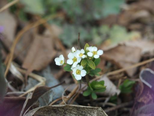 20170312・荒幡多摩湖散歩植物18・トベラ