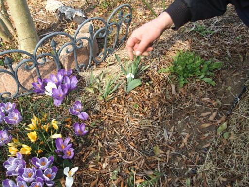 20170312・荒幡多摩湖散歩植物14・クロッカス(紫)