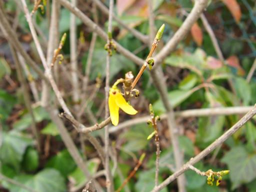 20170318・3月中旬の狭山湖植物06・レンギョウ
