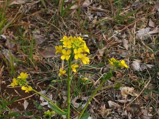 20170318・3月中旬の狭山湖植物10・セイヨウアブラナ