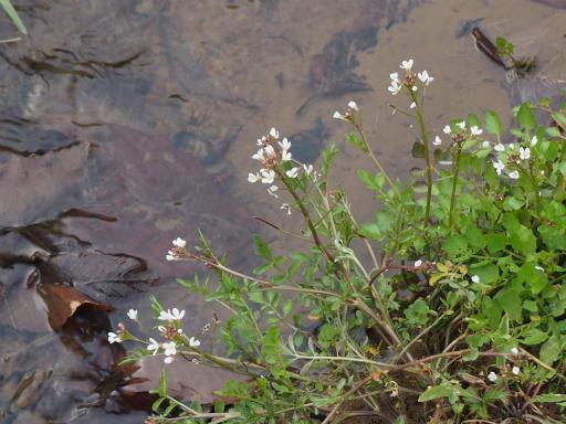 20170318・3月中旬の狭山湖植物11・タネツケバナ