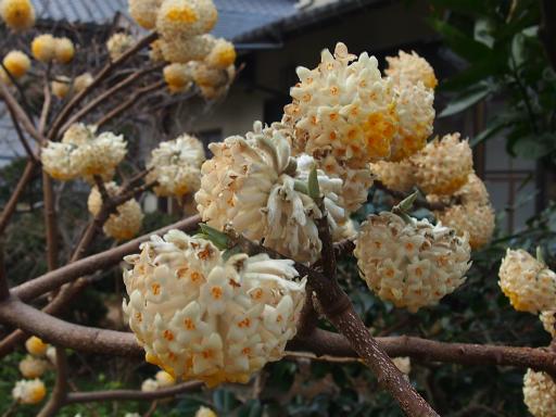 20170325・金仙寺瑞穂植物06・ミツマタ