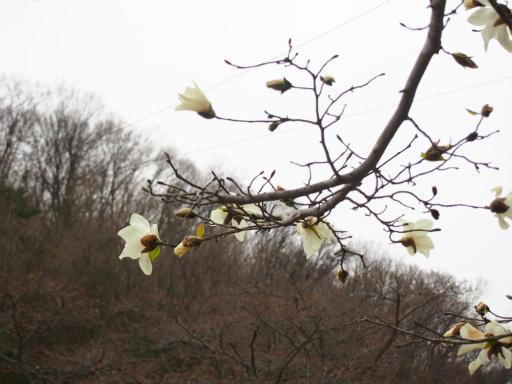 20170401・野山北公園植物1・コブシ