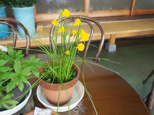 20170402・多磨霊園植物2・ナルキッスス・ブルボコディウム