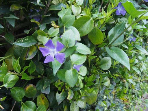 20170416・気まぐれ街歩き植物06・ツルニチニチソウ