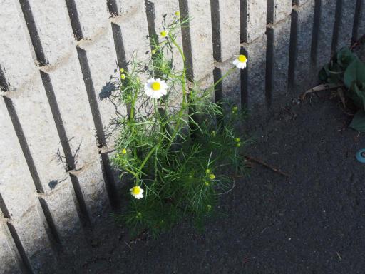 20170416・気まぐれ街歩き植物07・カミツレ(カモミール)