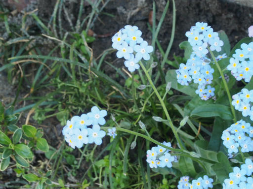 20170416・気まぐれ街歩き植物17・ワスレナグサ