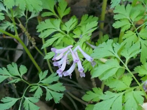 20170423・荒幡富士散歩植物15・シロヤブケマン
