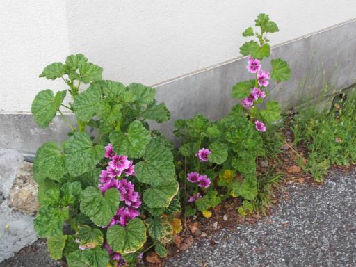 20170423・荒幡富士散歩植物30・ゼニアオイ