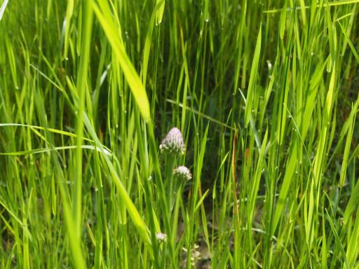 20170503・GW中の散歩植物17・キツネアザミ