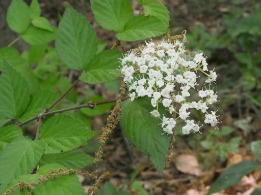 20170503・GW中の散歩植物20・アメリカニワトコ