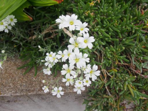 20170503・GW中の散歩植物32・シバザクラ