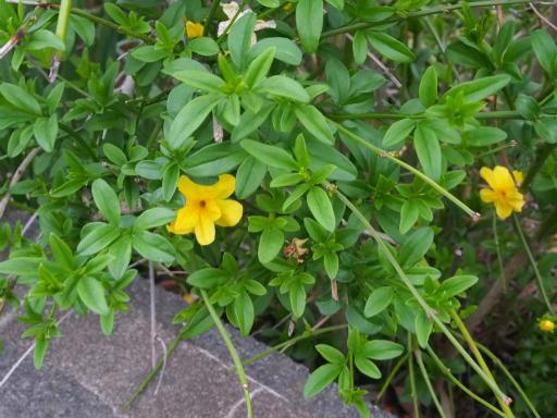 20170503・GW中の散歩植物47・オウバイモドキ(ウンナンオウバイ)