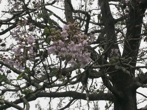 20170503・GW中の散歩植物45・キリ