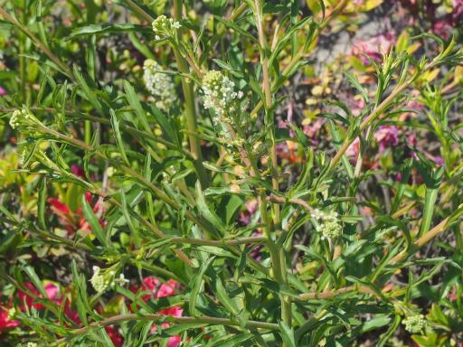 20170505・GW中の散歩植物54・マメグンバイナズナ