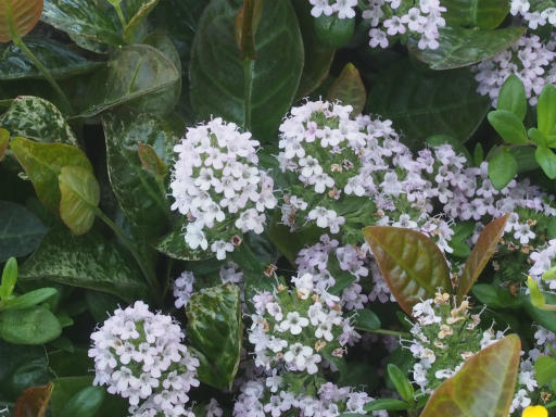 20170505・GW中の散歩植物57・シロバナイブキジャコウソウ