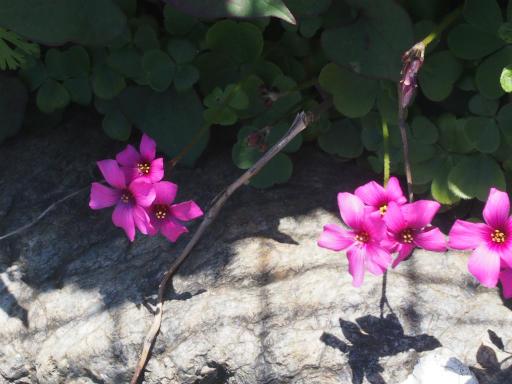 20170505・GW中の散歩植物64・イモカタバミ