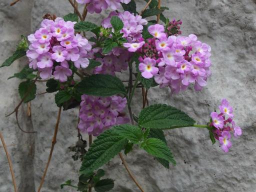 20170505・GW中の散歩植物68・ランタナ