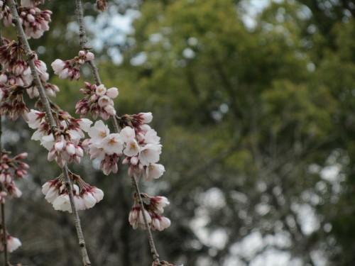 平野神社0001_3