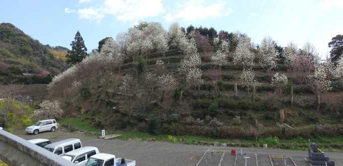 白木蓮の山